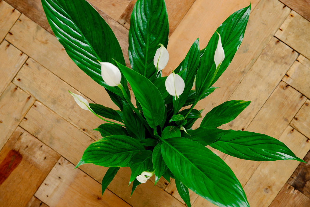 Butterfly Houseplant - Helens Flowers Grantham
