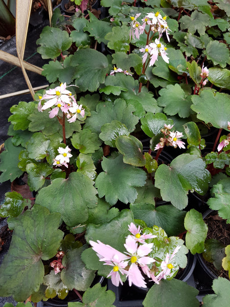 New Saxifraga fortunei 'Sibyll Trelawney JP now available