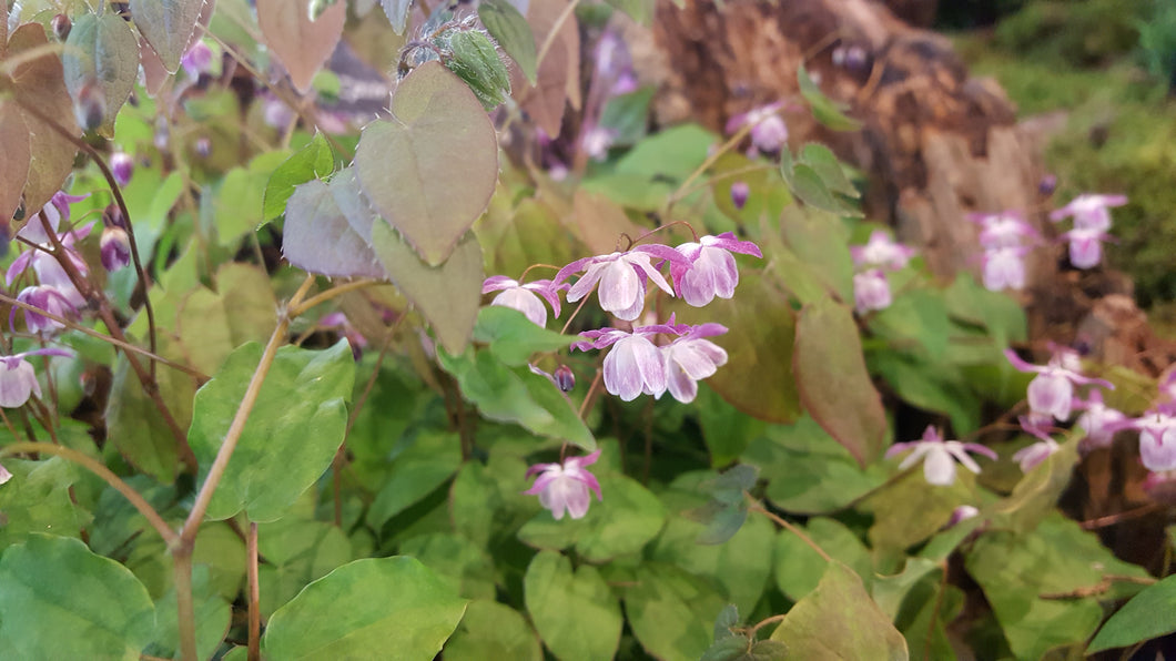 Epimedium youngiannum Merlin