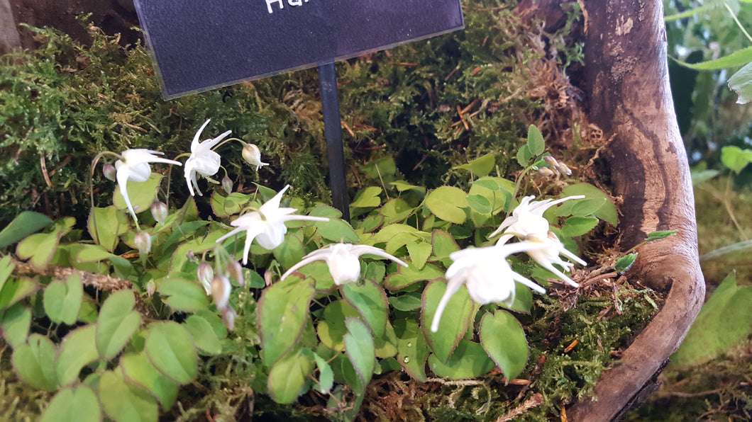 Epimedium White Hart