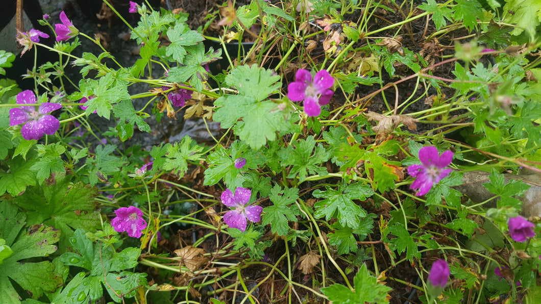 Geranium 'Little Gem'