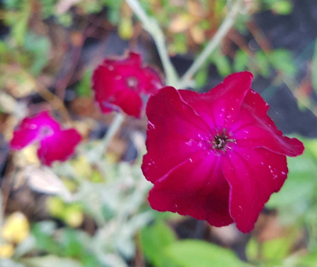 Lychnis coronaria 'Blood Red'