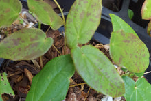 Epimedium 'Arctic Wings' PBR