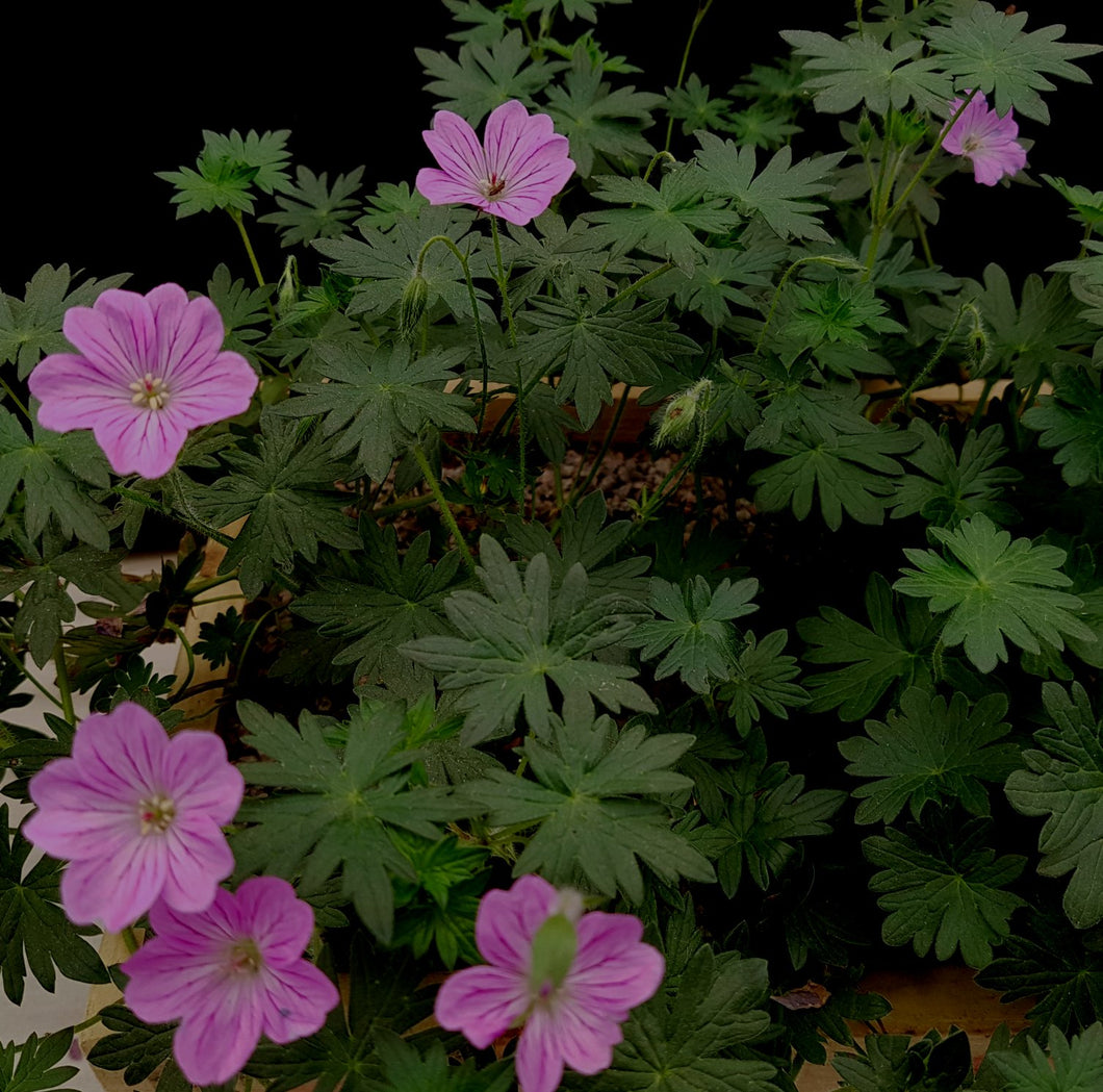 Geranium 'Blushing Turtle '