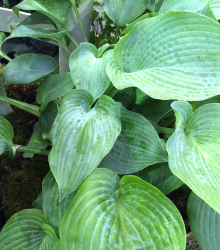 Hosta Halycon