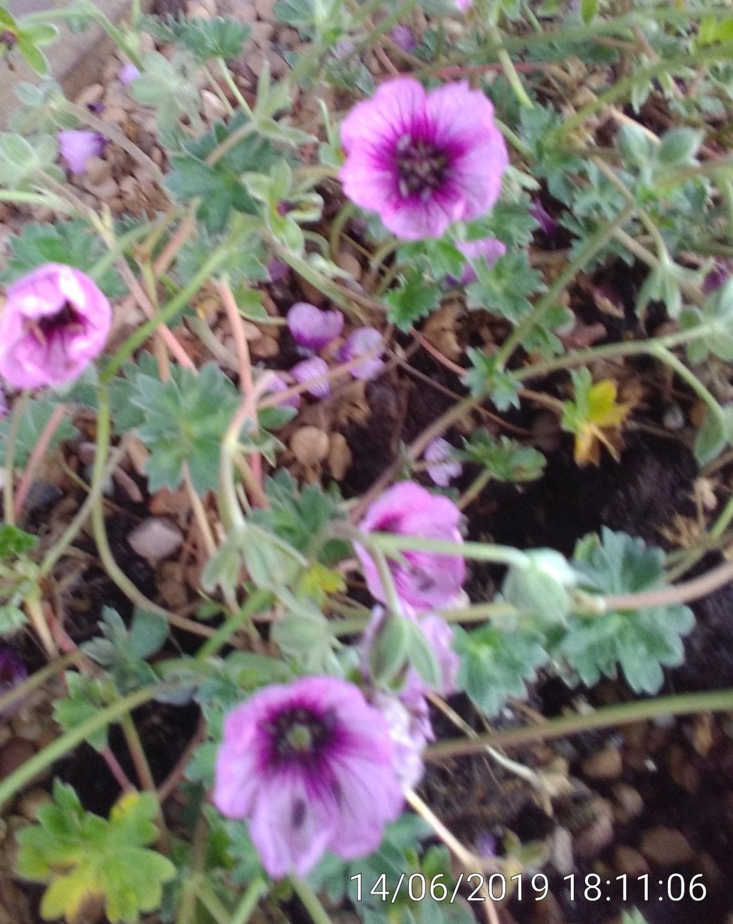 Geranium cinereum 'Thumbling Hearts' PBR