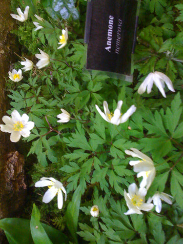 Anemone nemerosa available in spring