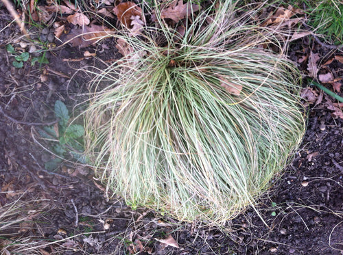 Carex comans Frosted Curls