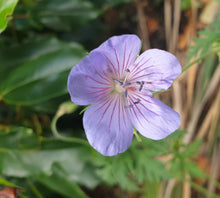Geranium Blue Cloud
