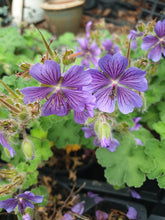 Geranium reynardii 'Phillipe Vapelle'