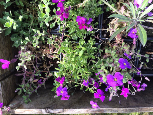 Aubretia Cheeky AGM