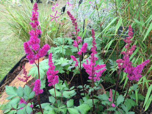 Astilbe Red Baron