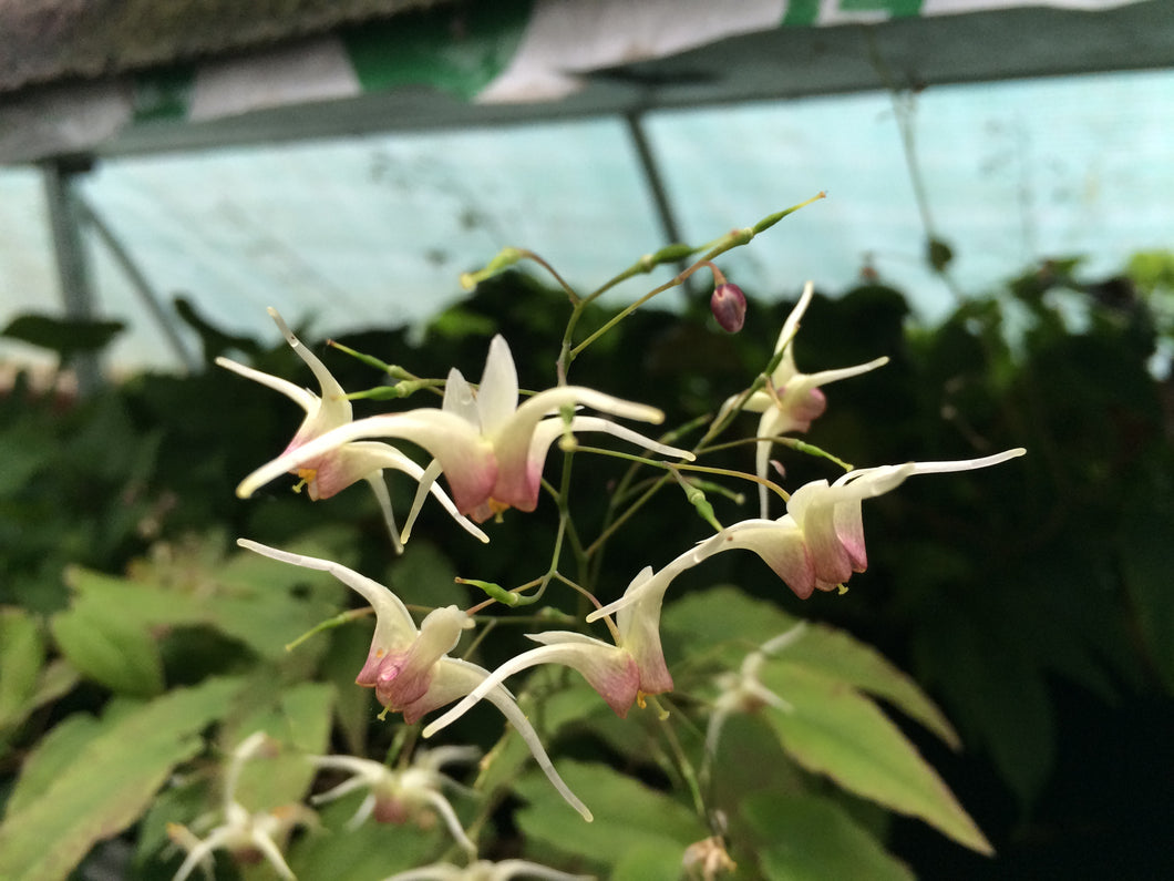 Epimedium Domino cc 990614