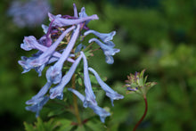 Corydalis Spinners