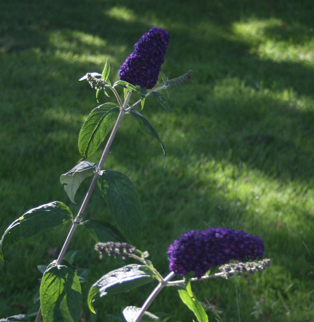 Buddleia davidii 'Dark Knight'