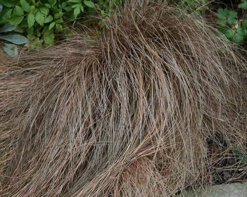 Carex comans bronze leaved