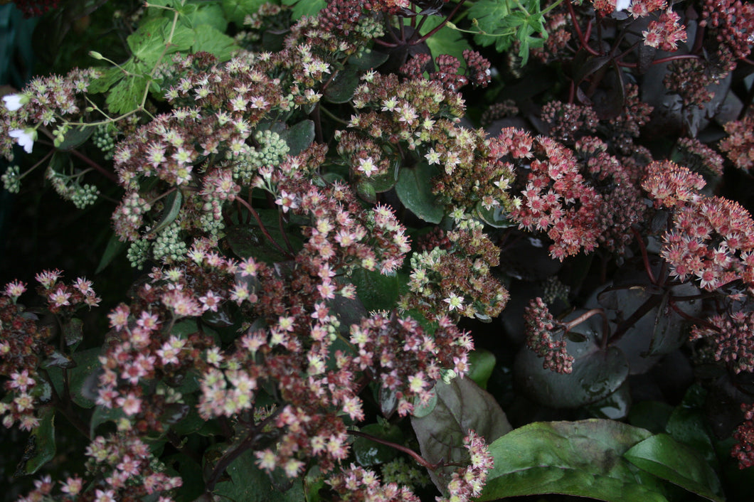 Sedum Strawberries and Cream