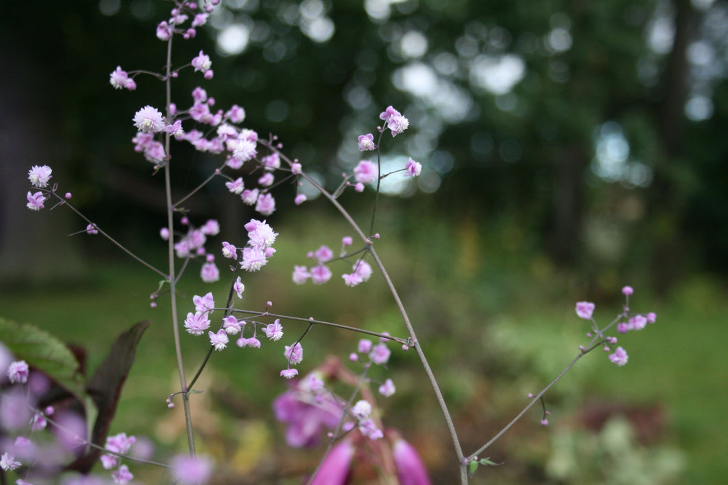 Thalictrum Hewitt's Double