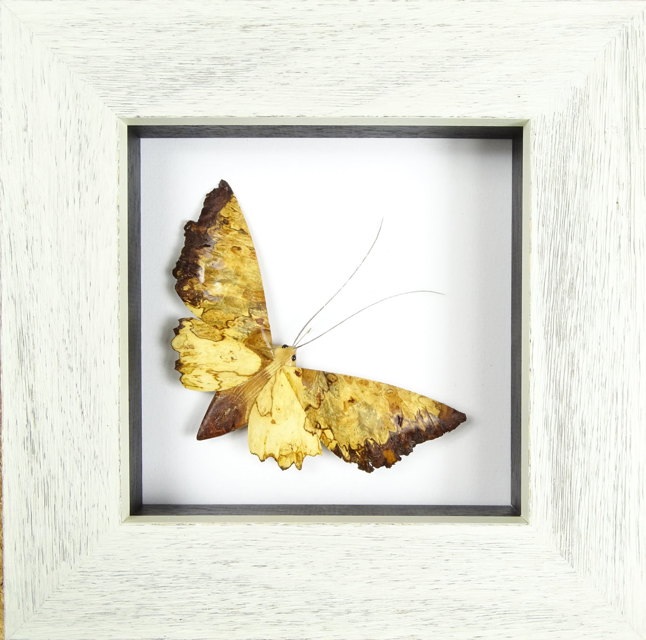 Small Single Moth - Oak  (Frame size 230 x 230) No.3b