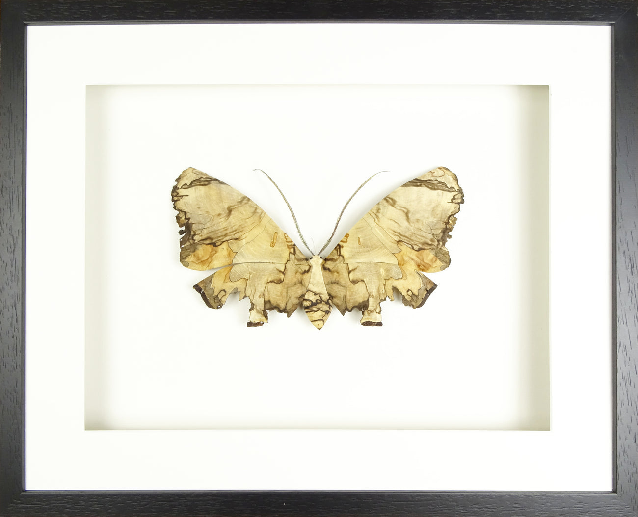 Very special Single Moth - Spalted laurel (Frame size 610 x 420)
