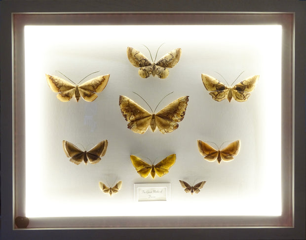 Large multiple moth collection, with internal LED lighting...NOW READY!