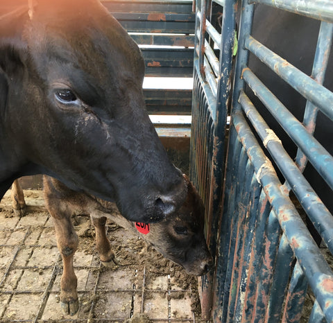 KC Cattle Company first Wagyu Heifer and Bull Calf