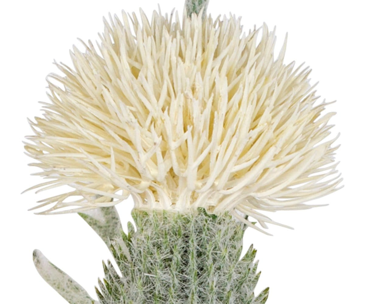 White Faux Thistle Stem