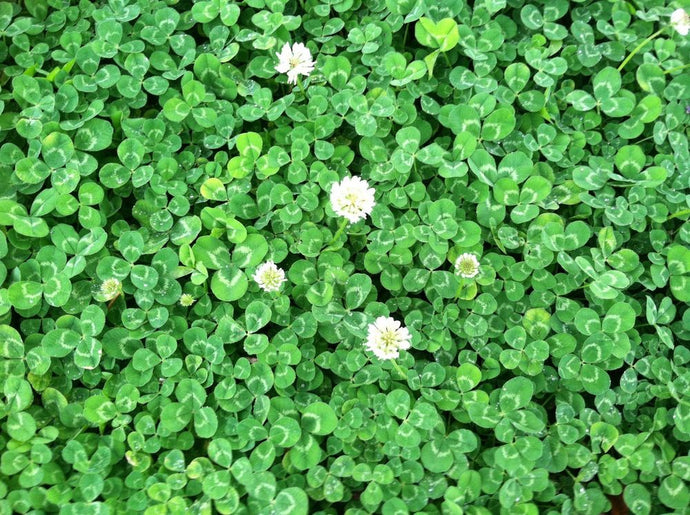 Dutch White Clover 50# (SPECIAL ORDER)