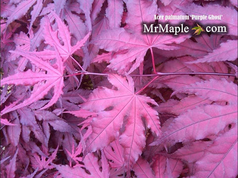 Buy Purple Ghost Japanese Maple Tree