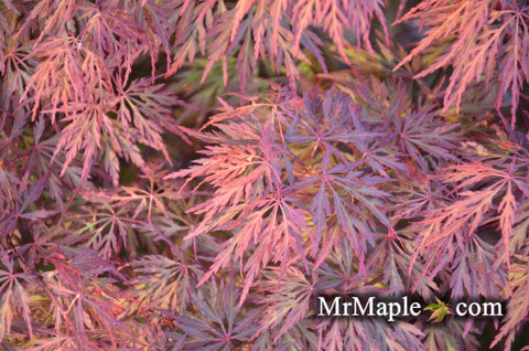 Buy Orangeola Japanese Maple