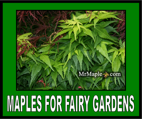 Buy Japanese Maples For Fairy Gardens