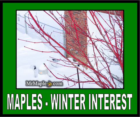 Buy Japanese Maples For Winter Interest