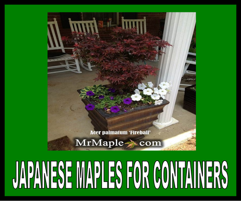 Buy Japanese Maples For Containers