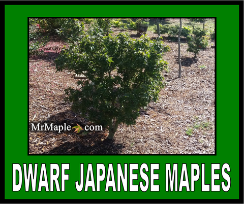 Buy Dwarf Japanese Maples