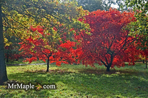 Garden Design with Japanese Maples