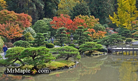 Design Your Garden With Background Japanese Maples