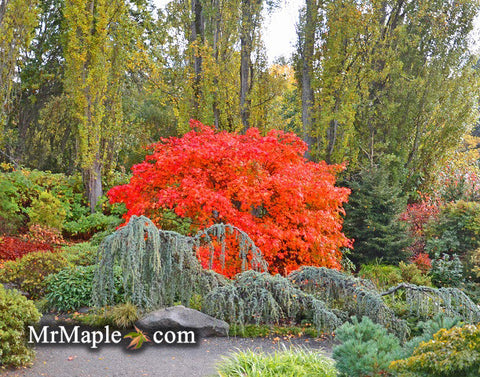 Designing YOUR GARDEN WITH fall color Japanese Maples