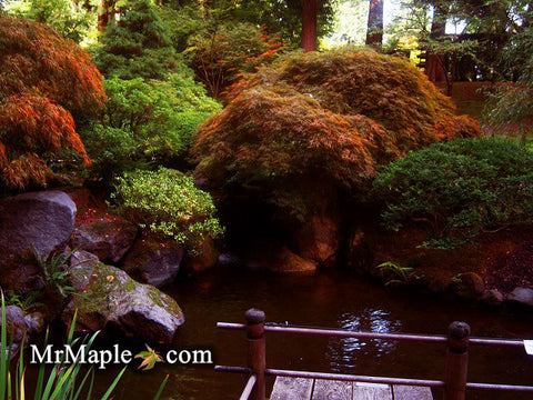 Design Your Water Feature Garden With Japanese Maples