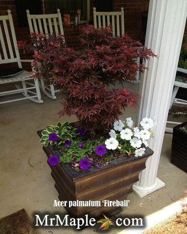 Design Your Container Garden With Japanese Maples