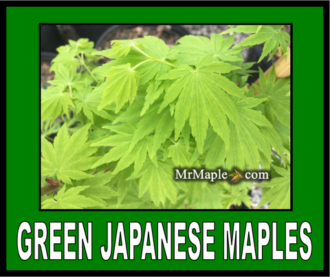 Buy Green Japanese Maples