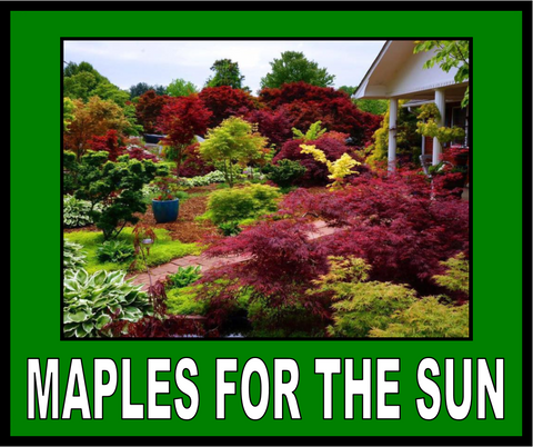 Buy Japanese Maples For The Sun