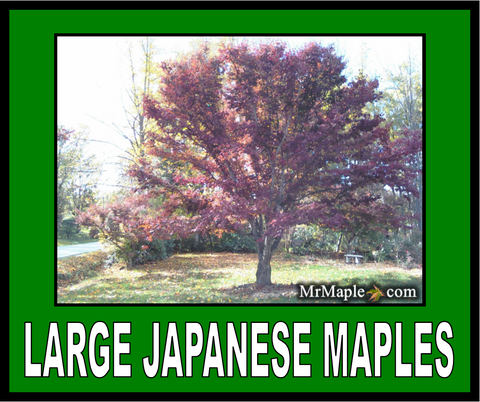 Buy Large Size Japanese Maples