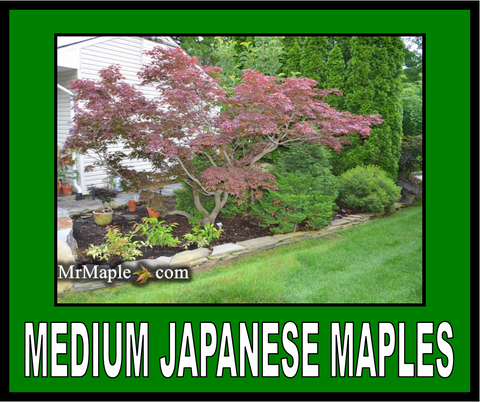 Buy Medium Size Japanese Maples