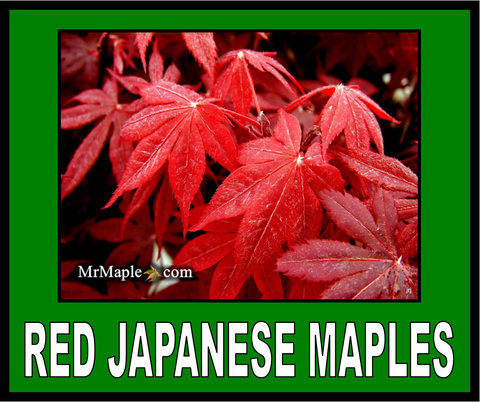 Buy Red Japanese Maples