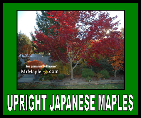 Buy Upright Japanese Maples