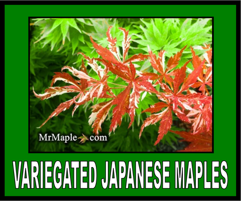 Buy Variegated Japanese Maples