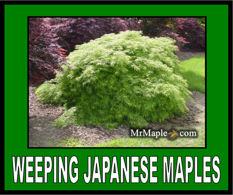 Buy Weeping Japanese Maple