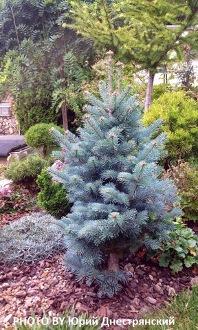 Abies lasiocarpa 'Glauca Compacta' Blue Arizona Cork Bark Fir