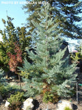 Sequoiadendron giganteum 'Glauca' Blue Giant Redwood