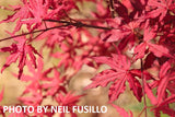 Acer palmatum 'Amagi shigure' Japanese Maple